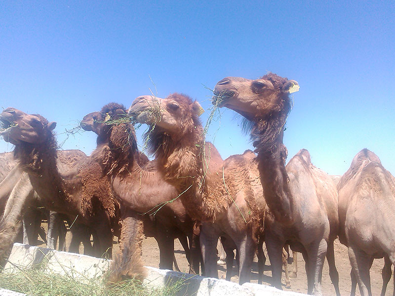 CAMELS OF THE GREAT STEPPE